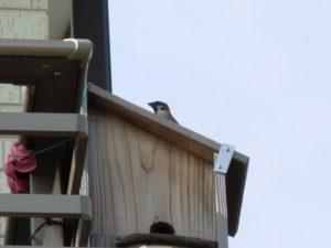 巣箱の屋根に乗るスズメ