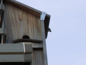 巣箱の出入りを見られたくないスズメ